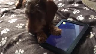 Dachshund intense plays game on tablet😍