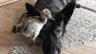 German Shepherd puppy befriends newly hatched bird