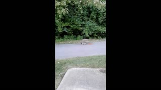 Raccoon Loves Cat Food