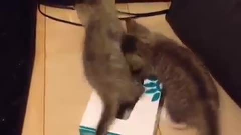 Kittens playing in a Tissue Box
