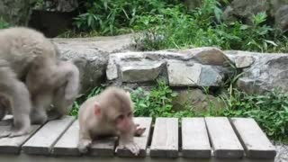Snow baby monkey - Cute animal