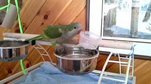 Impatient parrot accidentally dumps water on his own head