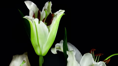 White flower opening in slow motion