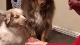 White puppy learns to shake hands with older brown dog - Video