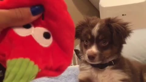 Little dog plays with strawberry toy and shakes hand
