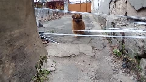 Dog invisible wall challenge