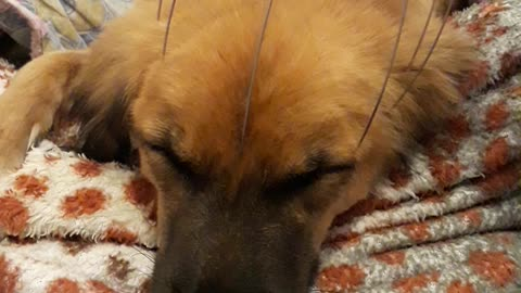Super relaxed dog gets the best massage ever