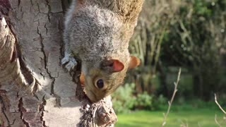 Squirrel digs into the tree