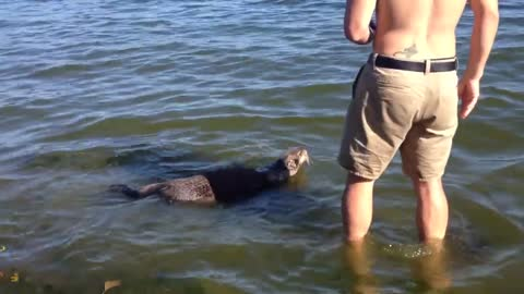 Wild sea otter swims up to man on Cadboro Bay beach