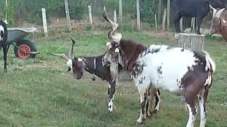 two beautiful goats are playing in beautiful wether  - Video