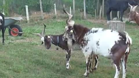 two beautiful goats are playing in beautiful wether