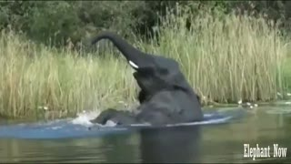 Elephant Swims in The Lake And Dives.