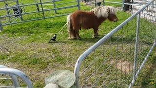 Patient Pony Lets Magpie Take Tail to Build a Nest