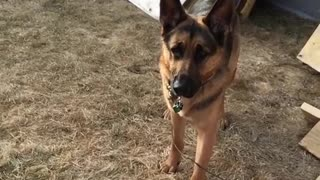 Collab copyright protection - german shepherd orange frisbee catch - Video