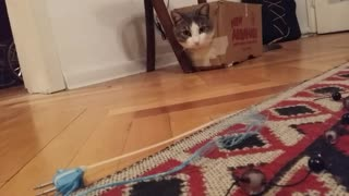 Cat loves boxes - Video