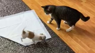 Cat Stunned by Chihuahua Energy