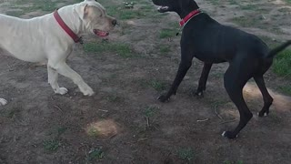 My Dogs bigger than a great Dane