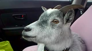 A Goat, A Dog, And A Pig Enjoy A Car Ride - Video