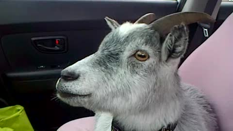 A Goat, A Dog, And A Pig Enjoy A Car Ride