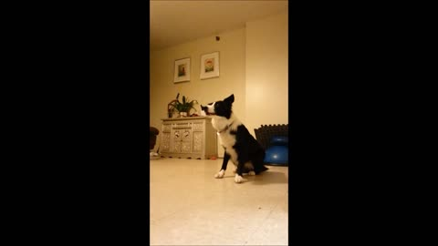 Dramatic dog performs action scene with owner