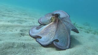 Colorful Octopus on the Seafloor