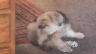 Squirrel and dog scratching - Video