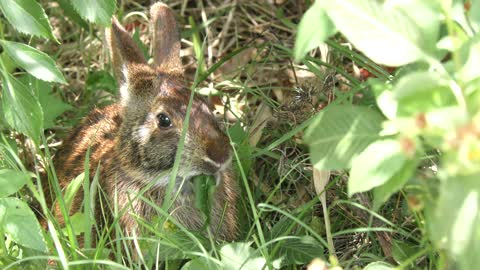 marsh rabbit feeds on leaves
