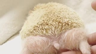 hedgehog is doing some push up after long day
