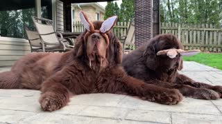 Newfoundlands chill out while wearing bunny ears