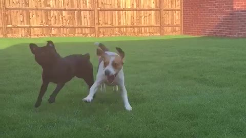 Crazy Beagle and Pug playing in new garden