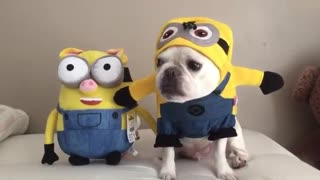 French Bulldog becomes Minion plush toy - Video