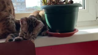 Playful Kitten Accidentally Breaks Flower Pot