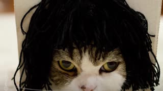 This cat unknowingly tries on wigs everytime he sticks his head through a box - Video