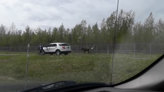 Moose Charges Car - Video