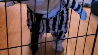 French Bulldog wants out
