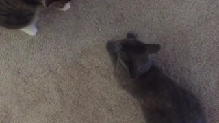 Two grey cats fight near their owners feet  - Video