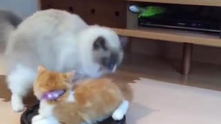 How to play with your lovely cat - Video