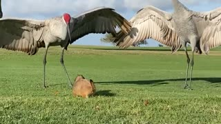 Prairie dog attempts to befriend a pair of sandhill cranes