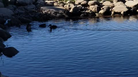 ducks feed in the river