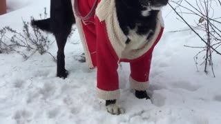 Black dog red jacket wagging tail in snow on leash - Video