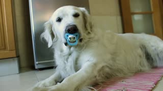 Golden Retriever refuses to give up pacifier - Video