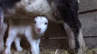 Baby Goat snack and nap  - Video