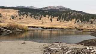 Massive Bison Herd Stampeding Through a Creek in Yellowstone National Park