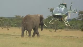 Elephant view by helicopter  - Video