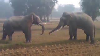 two elephant fight each other  - Video