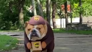 Bulldog wearing UPS costume hard at work delivering packages