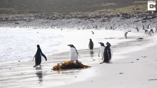 Hilarious Penguin Almost Flies After Meeting With Cold Waves - Video