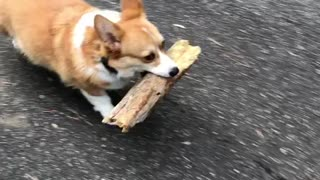 Corgi finds a huge log!