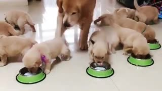 Mommy Golden Dog Reunnion with Her Puppies in Lunch Time