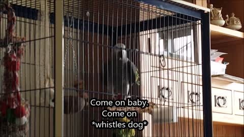 Subtitles help show parrot's wide variety of phrases